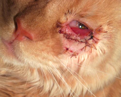у кошки заплыл глаз гноем