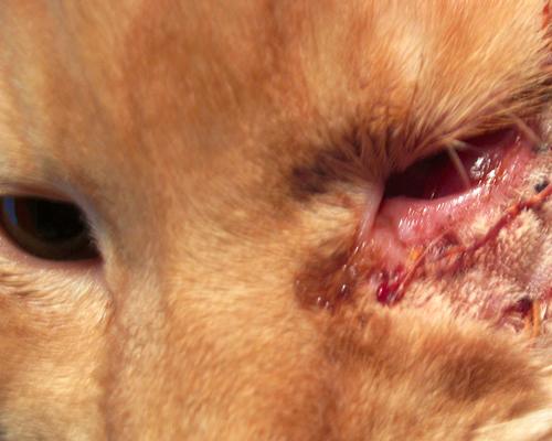 у кошки заплыл глаз кровью послк операции