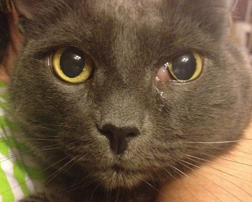 заплыл глаз у кошки и опухла щека