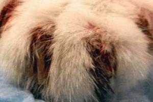 Из-за чего у кошки может кровить лапа?