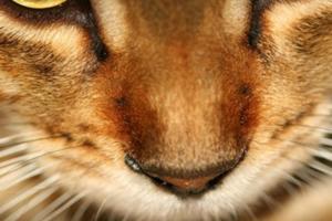 Что делать, если у кошки опух нос?