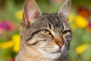 у кошки шелушится кожа внутри уха