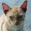 Из-за чего у кошки могут внутри шелушиться уши?