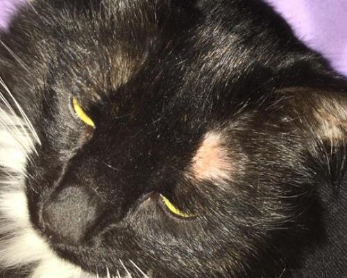 у кошки на бровях залысины