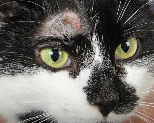 у кошки над бровью залысина