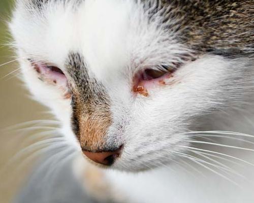 у кошки опухло нижнее веко