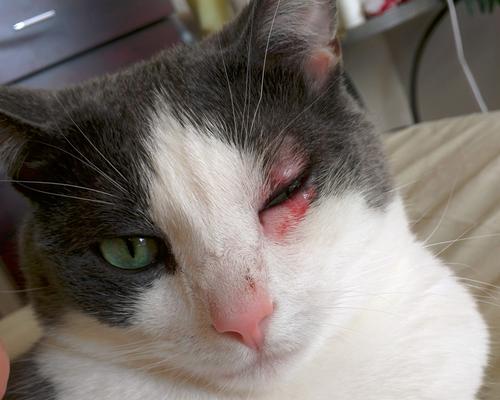 у кошки опухло верхнее веко
