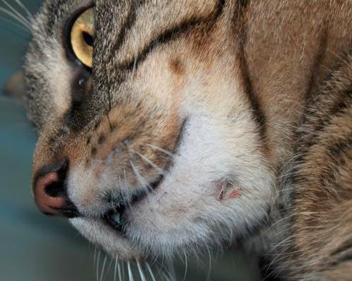 шишка с гноем на подбородке у кошки