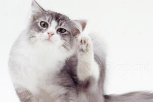 у кошки постоянно чешутся уши внутри