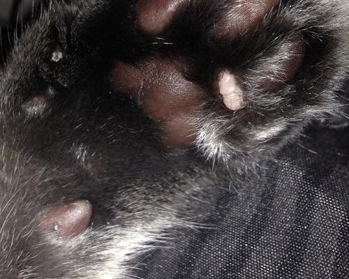 у кошки шишка на задней лапе