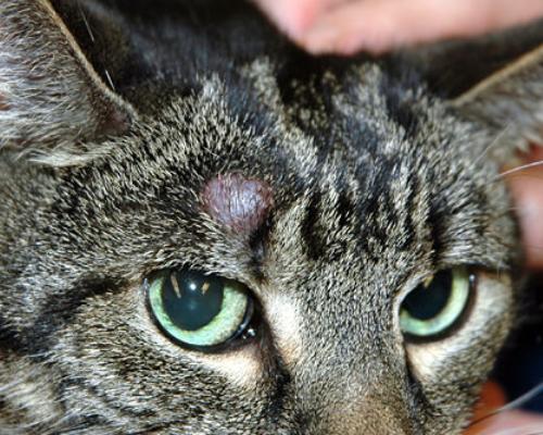 у кошки твердая шишка на голове