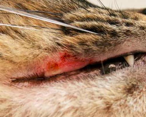 язвочки во рту у котика
